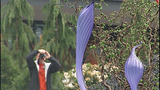 Seattle Center Chihuly exhibit opens - (11/16)