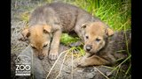 Red wolf pups debut at Point Defiance Zoo - (5/5)