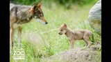 Red wolf pups debut at Point Defiance Zoo - (4/5)