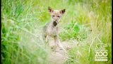 Red wolf pups debut at Point Defiance Zoo - (3/5)