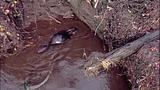 Broken beaver dam floods homes, road - (18/20)