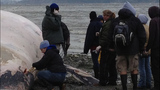 WARNING, GRAPHIC: Dead whale found on Burien beach - (5/6)