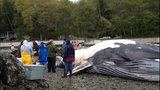 WARNING, GRAPHIC: Dead whale found on Burien beach - (4/6)