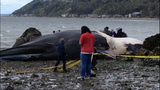 WARNING, GRAPHIC: Dead whale found on Burien beach - (1/6)