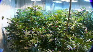 49 pounds of marijuana, 500-plus plants seized from Lakewood home, documents say