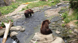 Grizzly bears at Woodland Park Zoo_3517881
