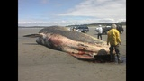 Whale found near Ocean Shores (Warning:… - (8/11)