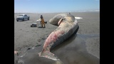 Whale found near Ocean Shores (Warning:… - (6/11)