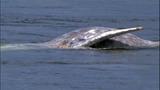 Gray whale under Purdy Bridge - photos - (2/18)