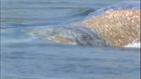 Gray whale under Purdy Bridge - photos - (11/18)