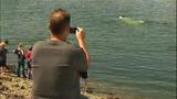 Gray whale under Purdy Bridge - photos - (5/18)