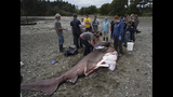 12-foot shark washes up on San Juan Island… - (4/5)