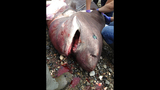 12-foot shark washes up on San Juan Island… - (2/5)
