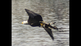 PHOTOS: Eagle hunts duck on Puget Sound - (12/16)
