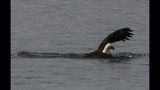 PHOTOS: Eagle hunts duck on Puget Sound - (6/16)