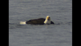 PHOTOS: Eagle hunts duck on Puget Sound - (3/16)