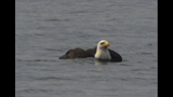 PHOTOS: Eagle hunts duck on Puget Sound - (15/16)