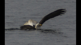 PHOTOS: Eagle hunts duck on Puget Sound - (10/16)