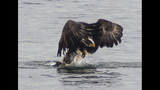 PHOTOS: Eagle hunts duck on Puget Sound - (4/16)