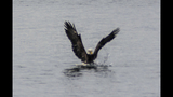 PHOTOS: Eagle hunts duck on Puget Sound - (16/16)