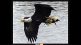 PHOTOS: Eagle hunts duck on Puget Sound - (2/16)