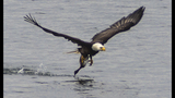 PHOTOS: Eagle hunts duck on Puget Sound - (5/16)
