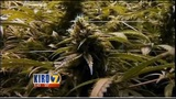 Marijuana farmers will no longer be able to take the agricultural exemption from the Business and Occupation tax_4691077