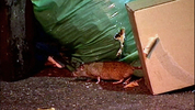 King County inspectors said it's up to businesses in Belltown to close garbage cans, so rats can't get to the food.