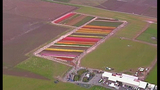 PHOTOS: Colorful tulips blooming in Skagit Valley - (4/25)