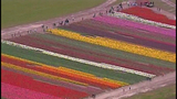 PHOTOS: Colorful tulips blooming in Skagit Valley - (24/25)