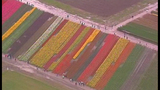 PHOTOS: Colorful tulips blooming in Skagit Valley - (16/25)