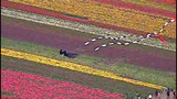 PHOTOS: Colorful tulips blooming in Skagit Valley - (18/25)