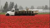 PHOTOS: Colorful tulips blooming in Skagit Valley - (3/25)