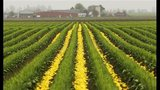 PHOTOS: Colorful tulips blooming in Skagit Valley - (17/25)