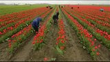 PHOTOS: Colorful tulips blooming in Skagit Valley - (10/25)