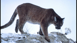 Cougar reportedly spotted in Aberdeen