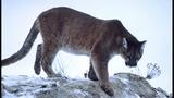 Cougar _5734989