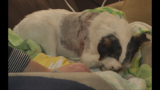 Family dog mauled--Owner calling for criminal charges_6681566