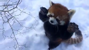 The Cincinnati Zoo & Botanical Garden posted irresistibly adorable video of some of their Red Pandas enjoying a snow day. Click here to watch the video. (Photos from Cincinnati Zoo & Botanical Garden video.)