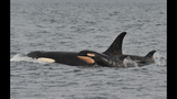 New baby orca born to Puget Sound J-Pod_7043562