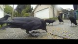 Neighbors sue parents of Portage Bay girl who feeds crows_7897272