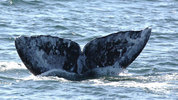 Photo by Jill Hein via Pacific Whale Watch Association (PWWA)