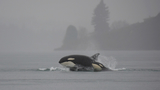 VIDEO: Orca whales return to Puget Sound, just in time for start of spring