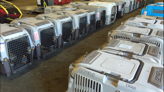 53 Dogs Make Flight Out Of Sea Tac Airport Following