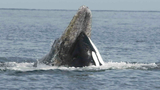 """PWWA officials say a crew saw four killer whales cross paths with two adult """"Saratoga gray whales,"""" part of around a dozen grays that come to Puget Sound each spring to feed on ghost shrimp. [Photo: NOAA]"""