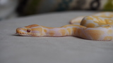 PICTURE NOT OF PYTHON THAT FELL INTO HOSPITAL. [Photo: Kaorte, Wikimedia Commons. Pictured is an albino ball python.]