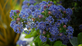 """[Photo of Ceanothus """"Puget Blue"""" from Wikimedia Commons by author, 'Calips']"""