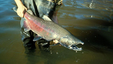 VIDEO: Low numbers lead to fishing restrictions on chinook salmon