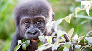 Woodland Park Zoo delays debut of baby gorilla