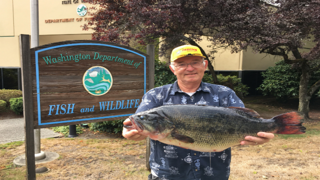 Bass caught in snohomish county shatters 39 year old state for Department of fish and wildlife washington